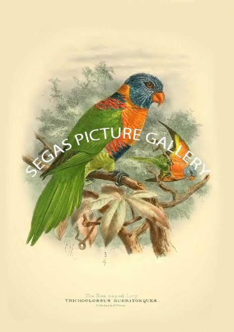 Fine art print of the Red-naped Lory - Trichoglossus rubritorques by St George Mivart (1896)